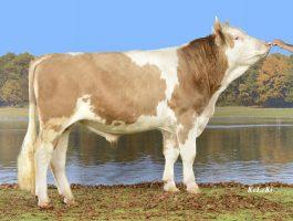 fabrizio new simentalac seme svajcarska bikovi semex